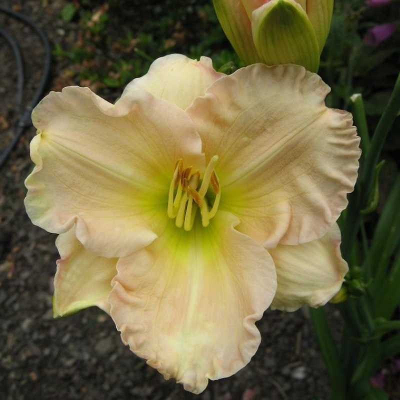 Daylily Lullaby Baby