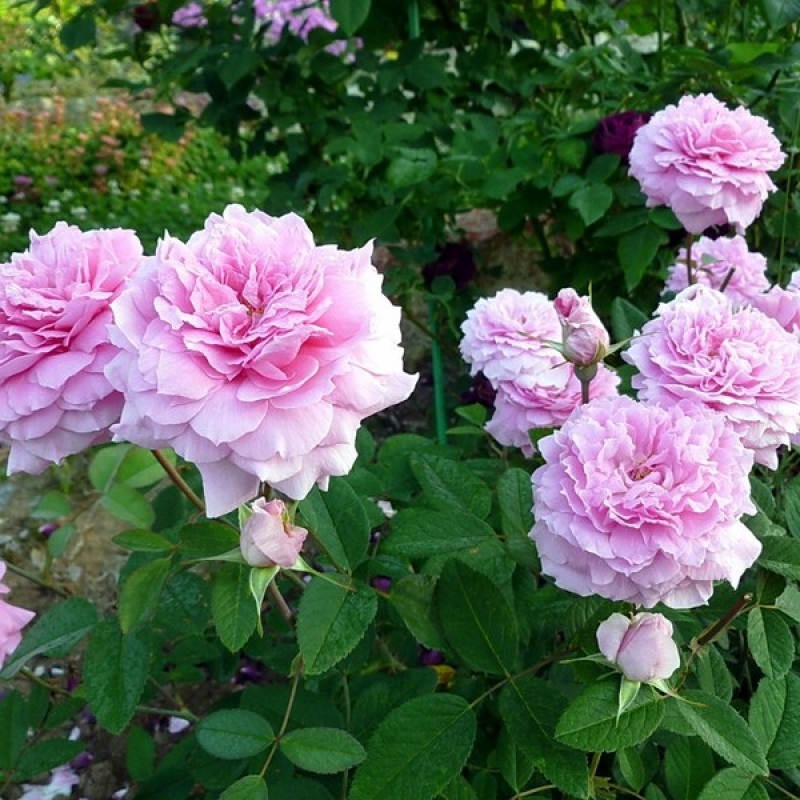 Розы МэйФлауэр