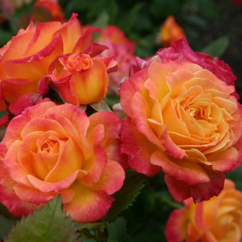 Розы Гартенспасс