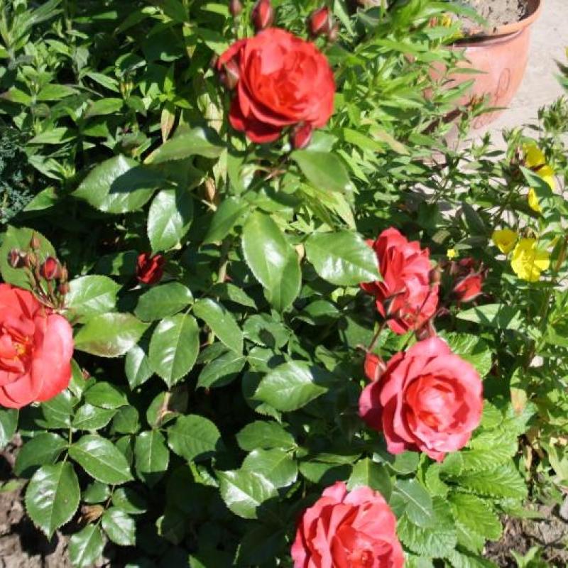 Розы Коко