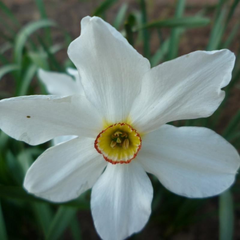 Нарциссы Актаэя
