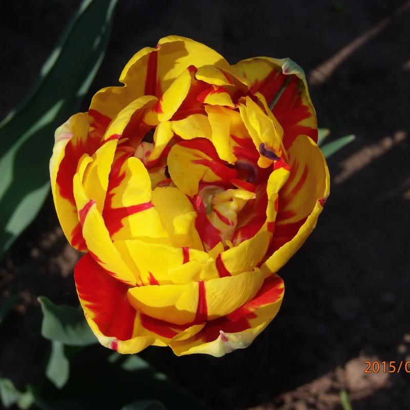 Тюльпаны Голден Ницца