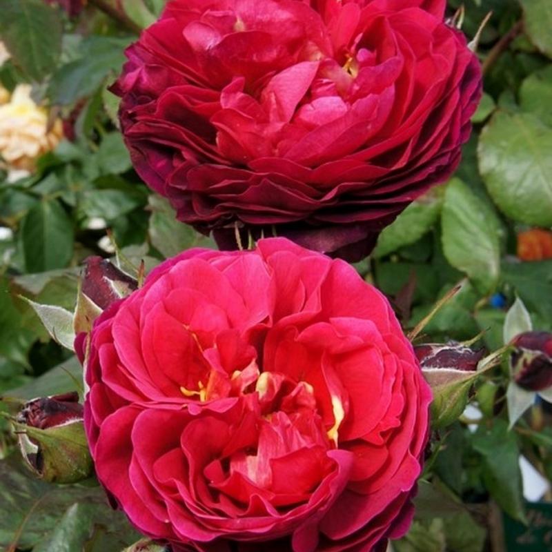 Розы Л.Д.Брайтвэйт