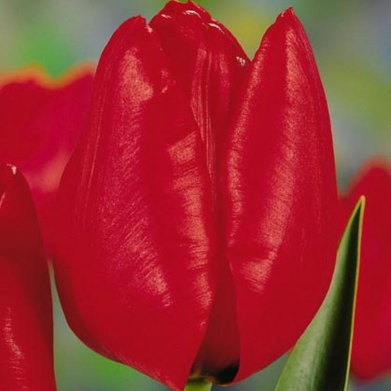 Тюльпаны Ланденеу