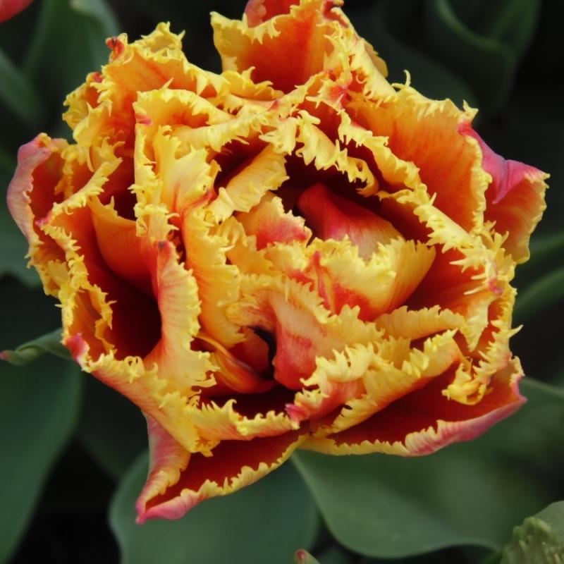 Тюльпаны Голд Даст