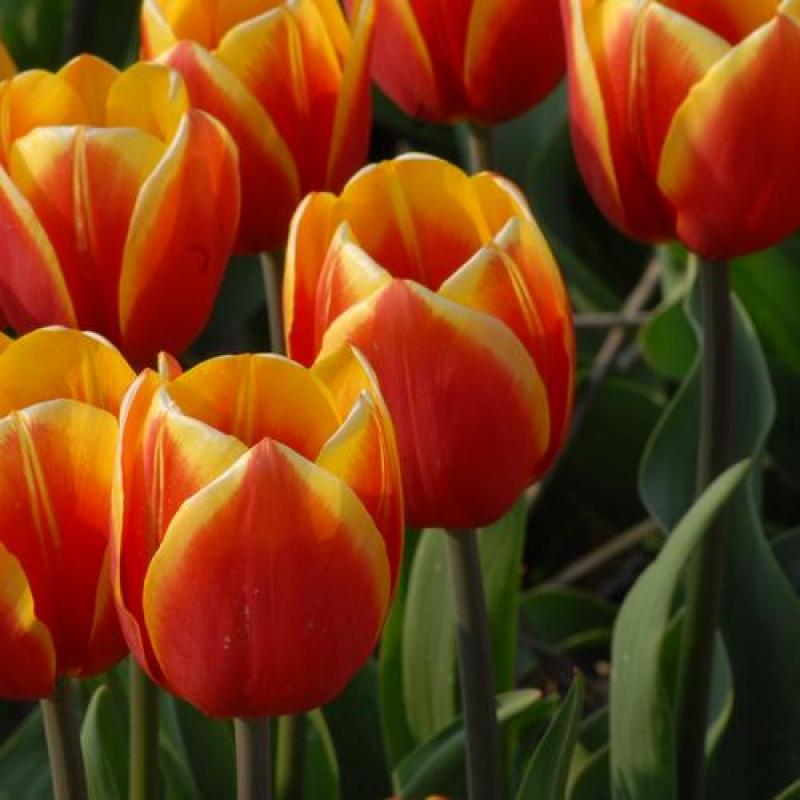 Тюльпаны Текла