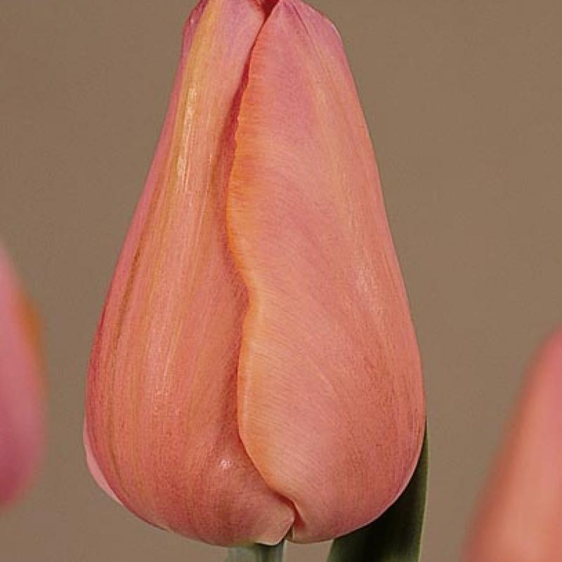 Тюльпаны Анастасия