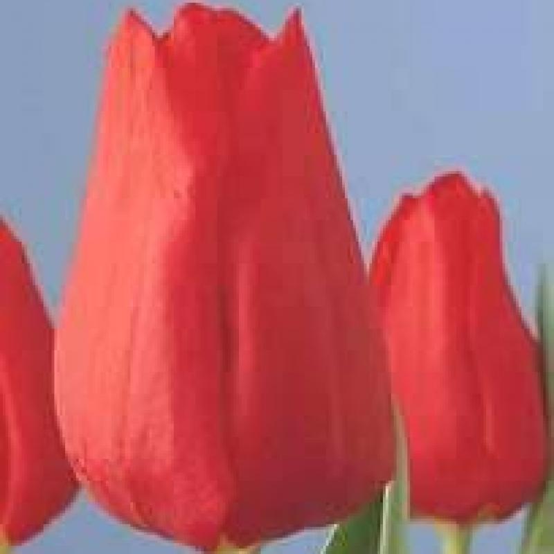 Тюльпаны Оскар
