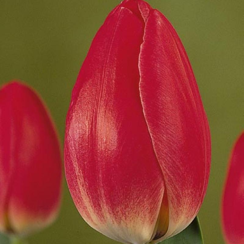 Тюльпаны Евростар