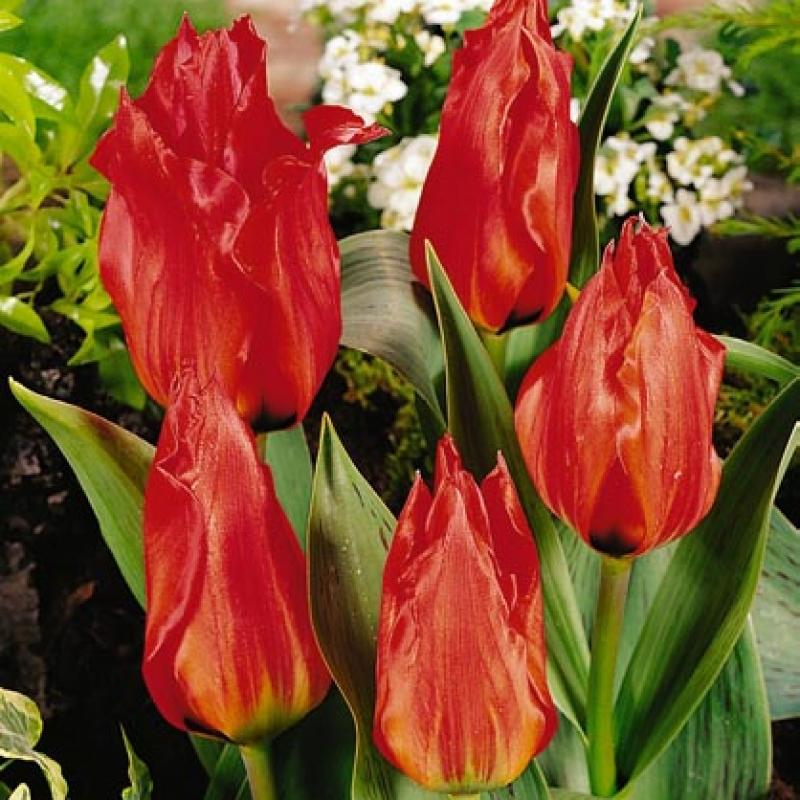Тюльпаны Ред Торч