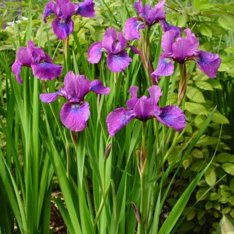 iris temper tantrum katalog sorten samen iris temper tantrum pflege vermehren und. Black Bedroom Furniture Sets. Home Design Ideas