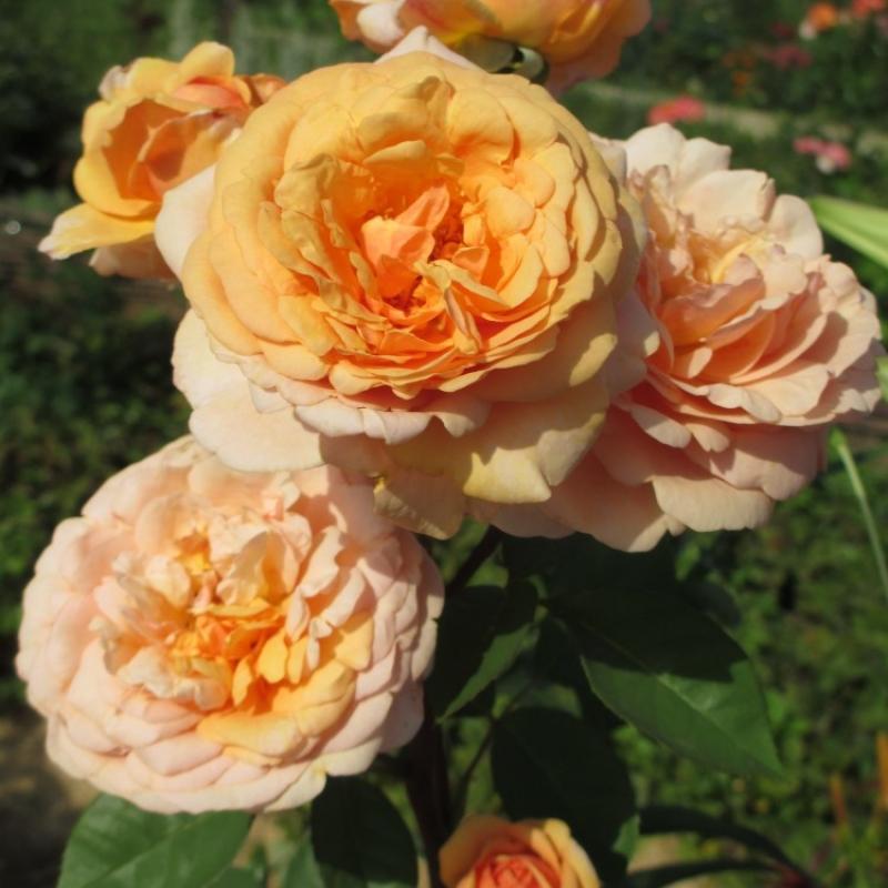 Розы Чарльз Остин