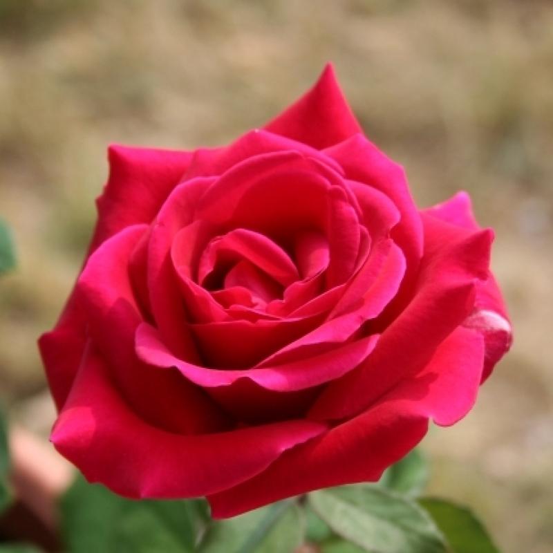 Розы Фонтейн