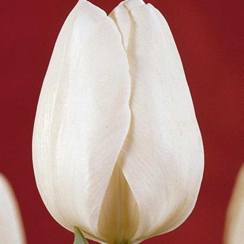 Тюльпаны Силентиа