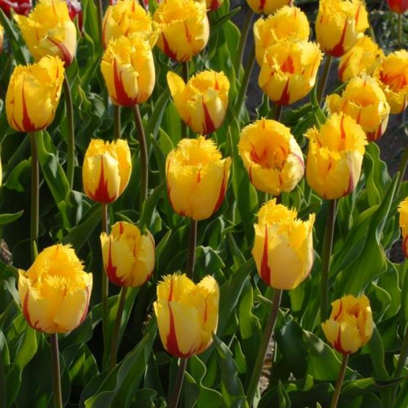 Тюльпаны Фламенко