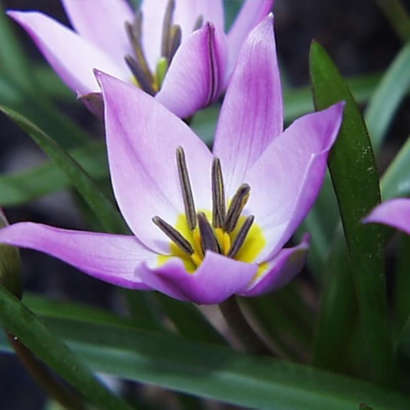Тюльпаны Хумилис