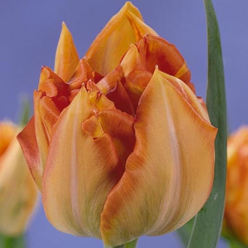 Тюльпаны Бруно Лильефорс