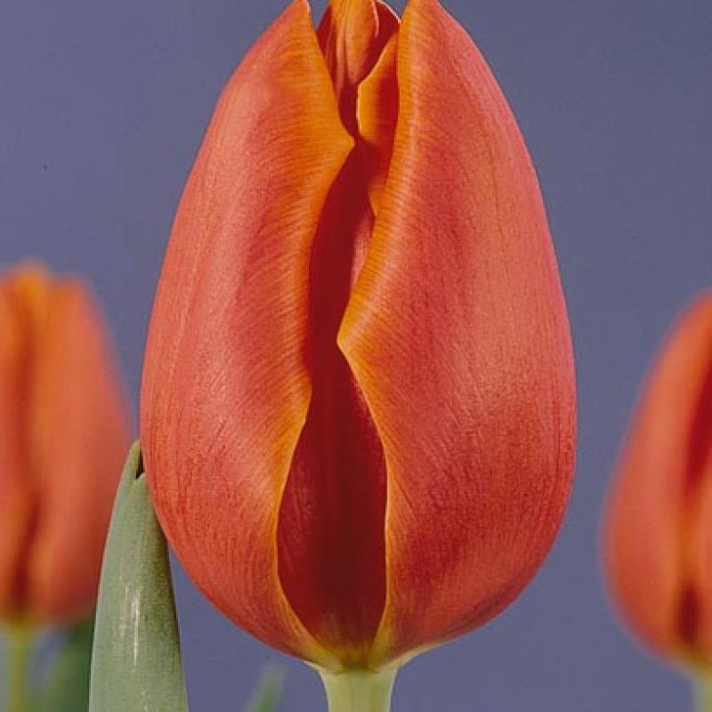Тюльпаны Хай Сошети