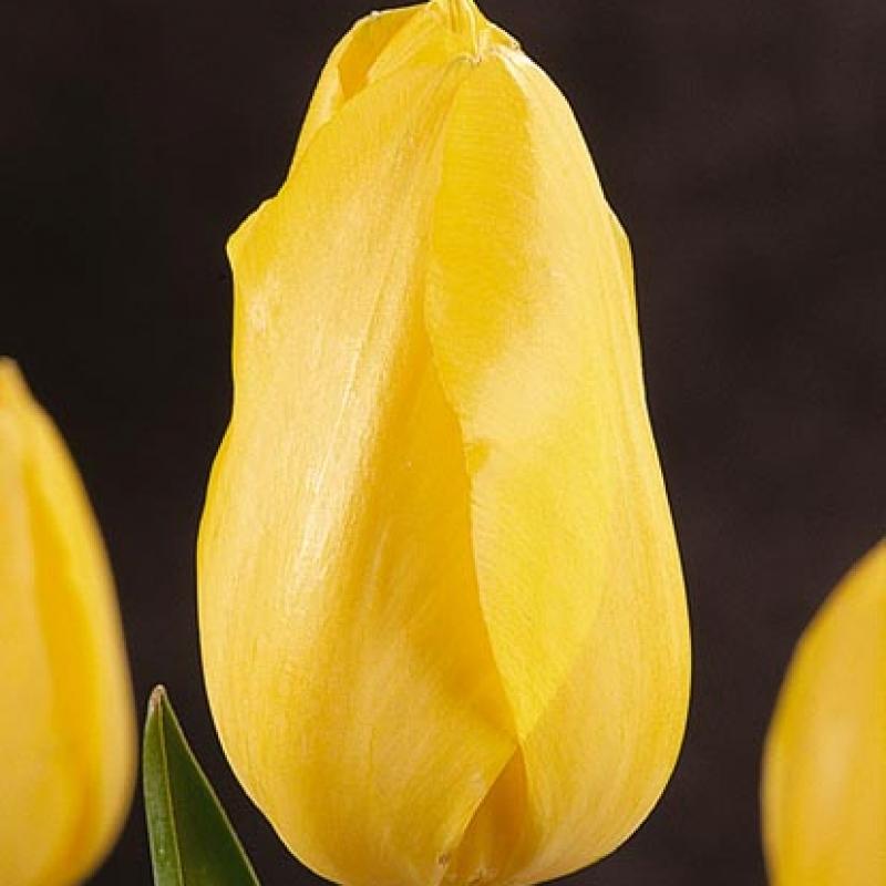 Тюльпаны Хелла Лайтс