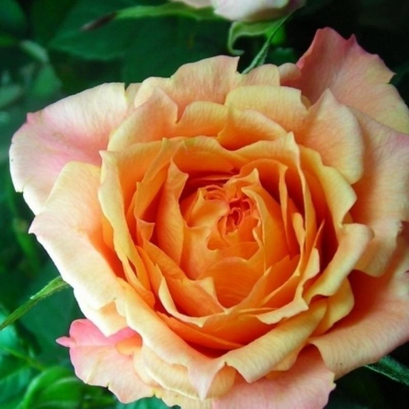 Розы Дора Параде