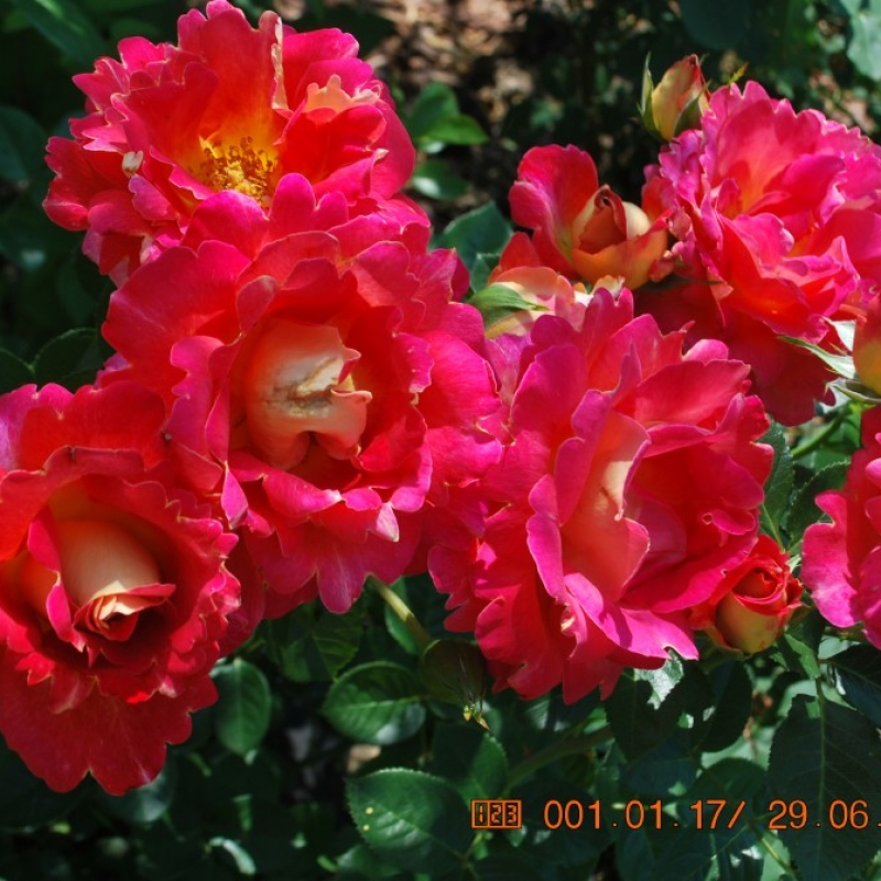 Розы Арлекин