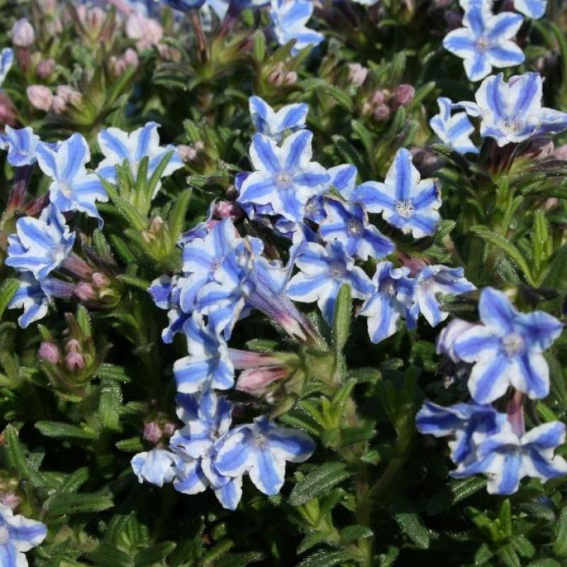 Lithodora Star