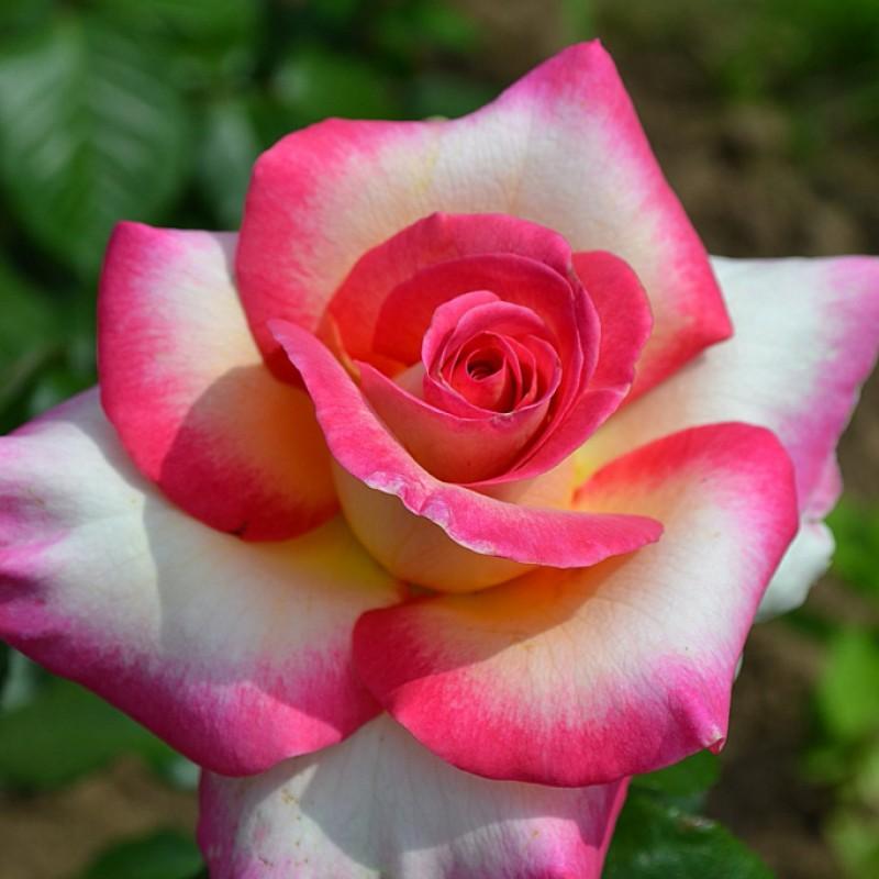 Розы Перцепшн