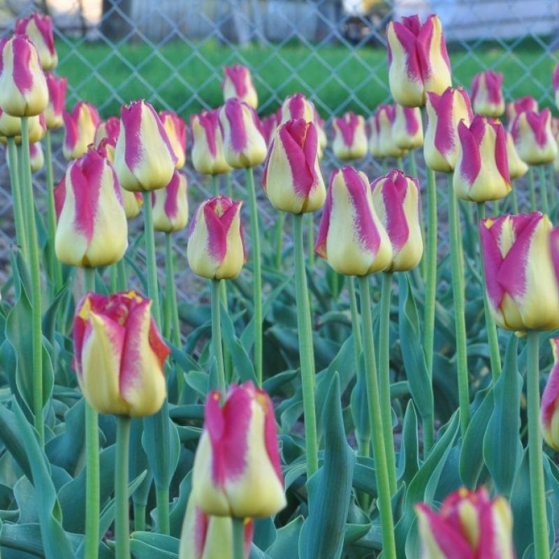 Тюльпаны Бостон