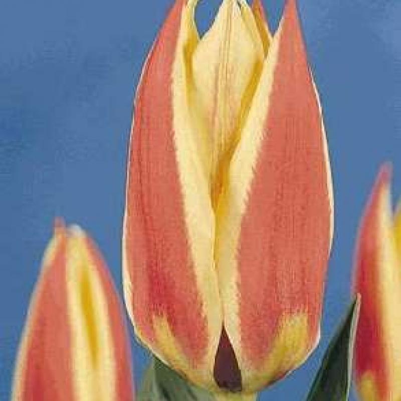 Тюльпаны Флеминг Стар