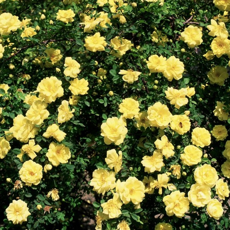 Розы Харисонс Йеллоу