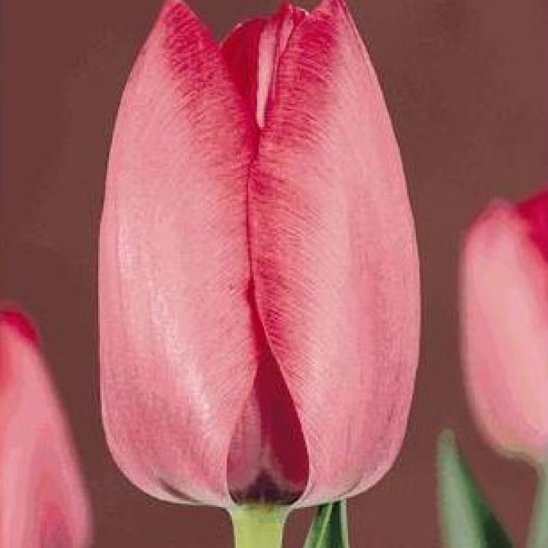 Тюльпаны Мария Кристина