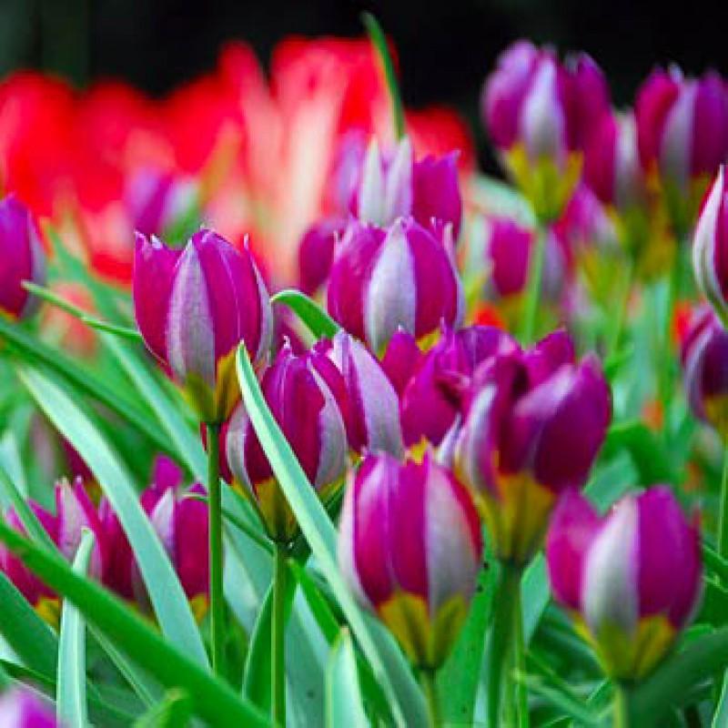 Тюльпаны Персиан Перл