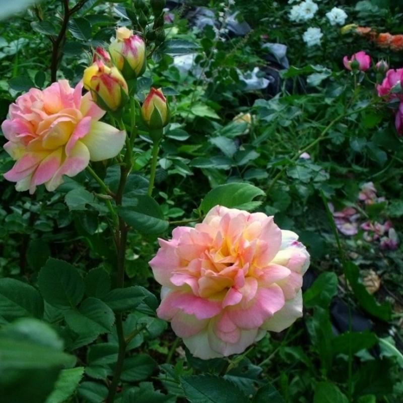 Розы Бэйрис