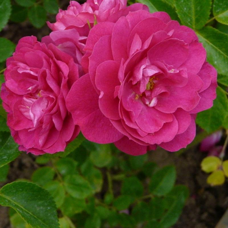 Розы Джон Франклин