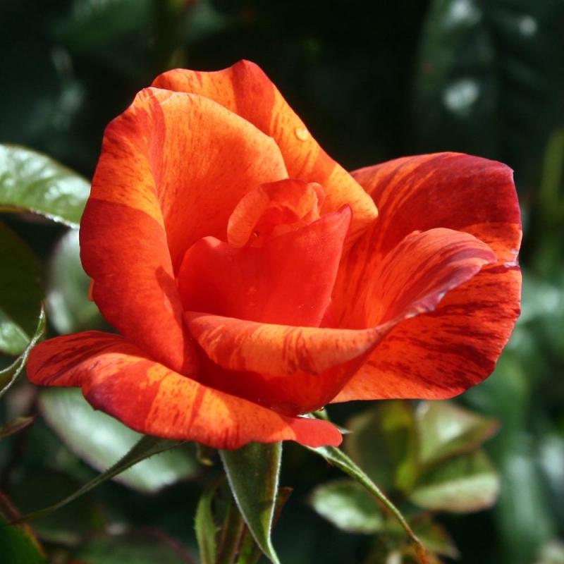 Розы Тауни Тайгер