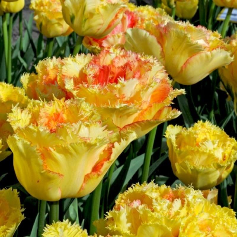 Тюльпаны Вайя Кон Диос