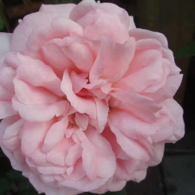 Розы Сиссел Ренессанс