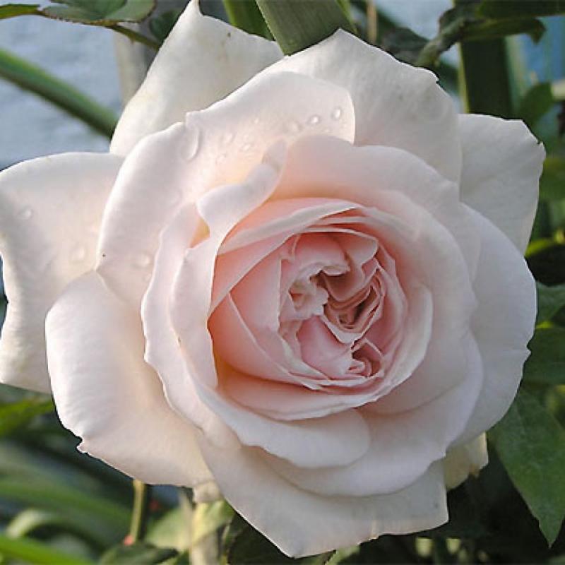 Розы Пенни Лейн