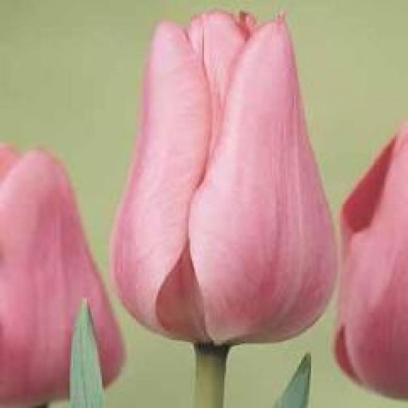 Тюльпаны Пер Гюнт