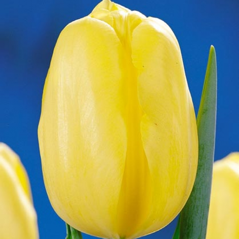 Тюльпаны Чероки