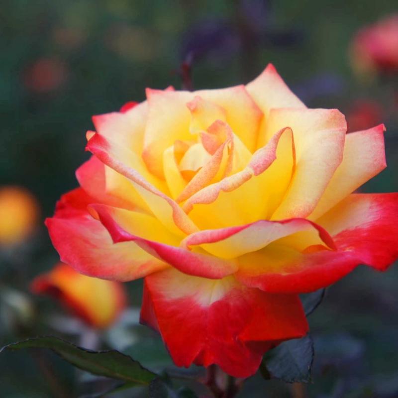 Розы Чарльстон