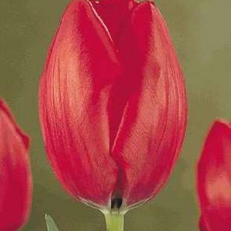 Тюльпаны Гритингс