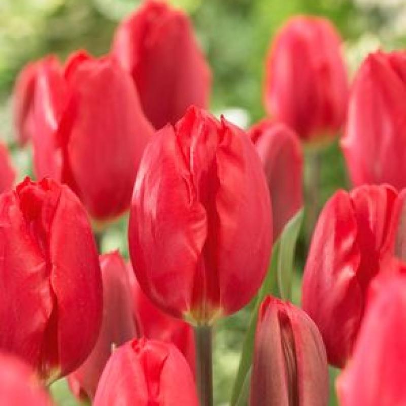 Тюльпаны Строуберри Айс