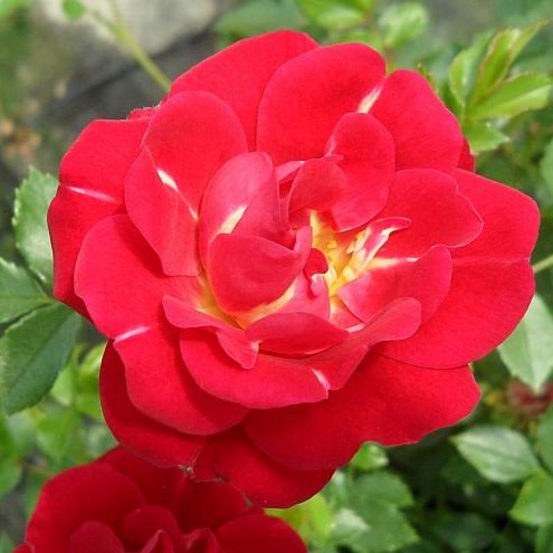Розы Онделла