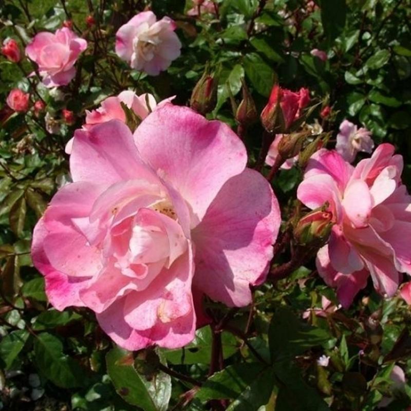 Розы Дабл Раш