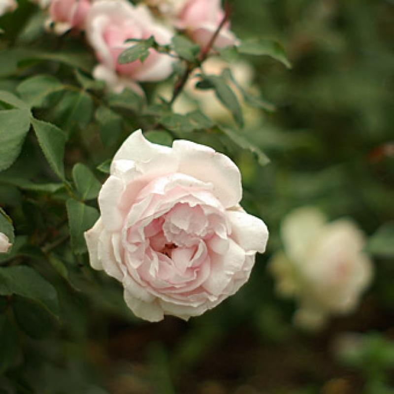 Розы Петит Трианон