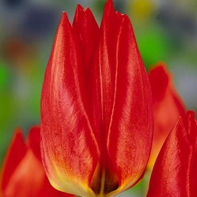 Тюльпаны Ред Флэир