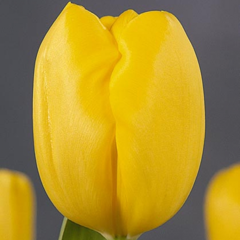 Тюльпаны Лили Шраер