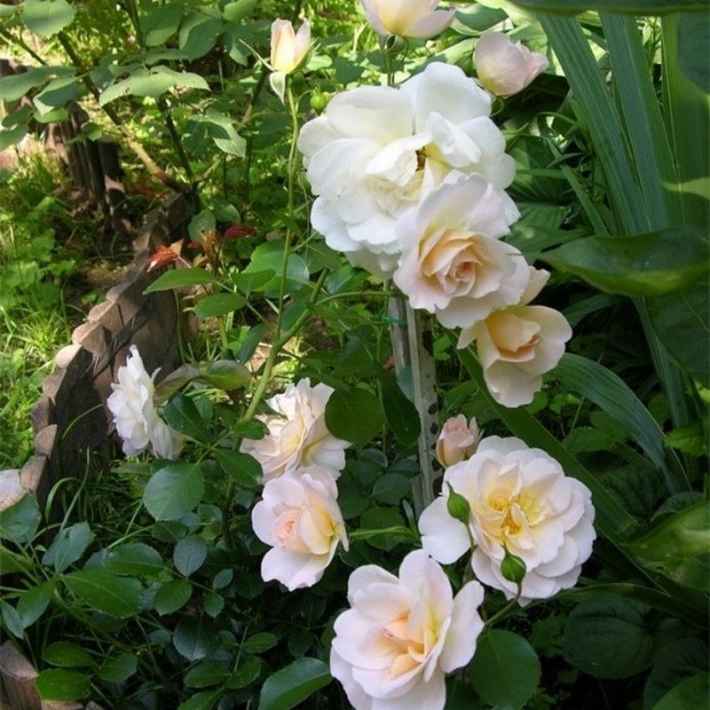 Розы Кристал Палас