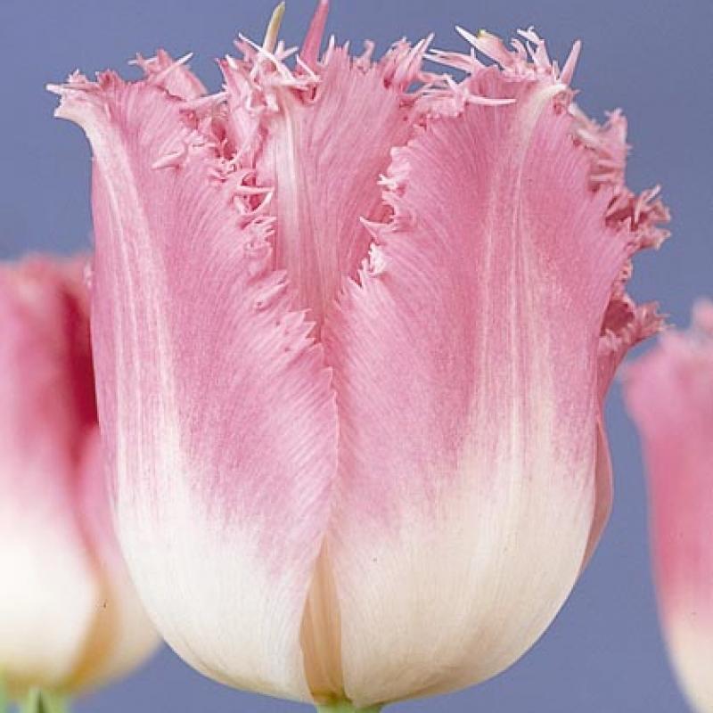 Тюльпаны Изуми